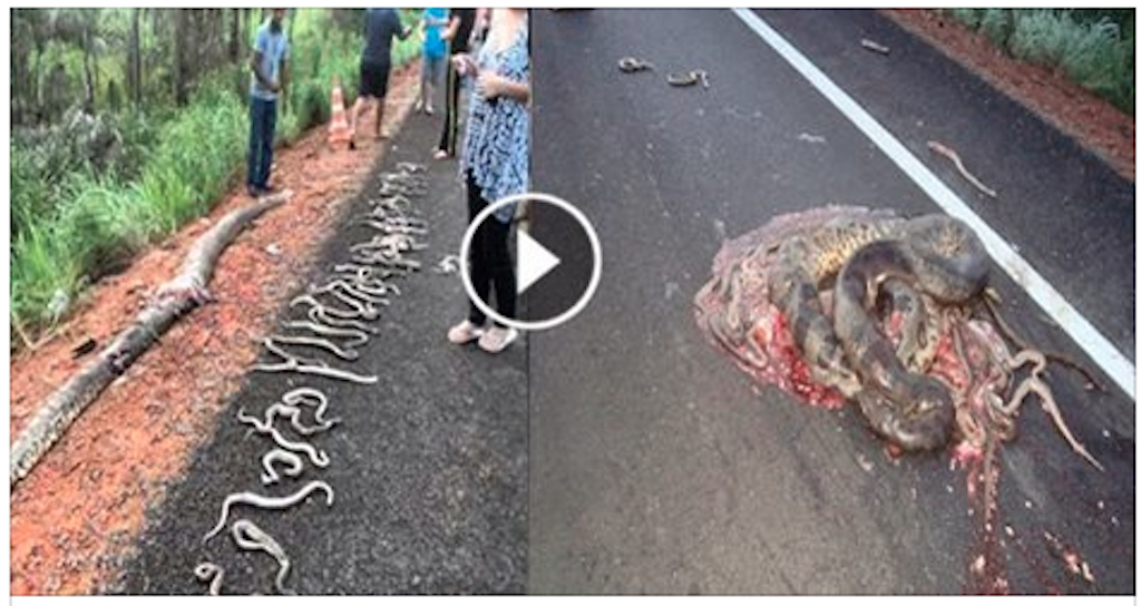 Pregnant Mother snake hit by truck